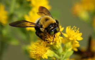 Bee_Yellow_Flower-625x4001