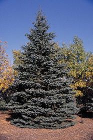 319px-Picea_pungens_tree